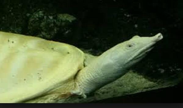 Tartaruga Dal Guscio Molle.Veneto Catturata Tartaruga Aggressiva Del Sud Est Asiatico Nel